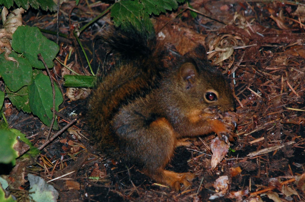 Baby Red Squirrel, Tualatin Valley Nature Park, Beaverton, OR