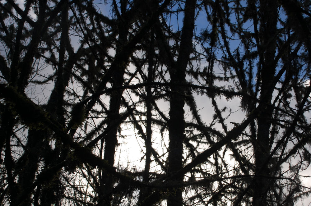 Abstract branches silhouette, Tualatin Hills Nature Park, Besverton, OR