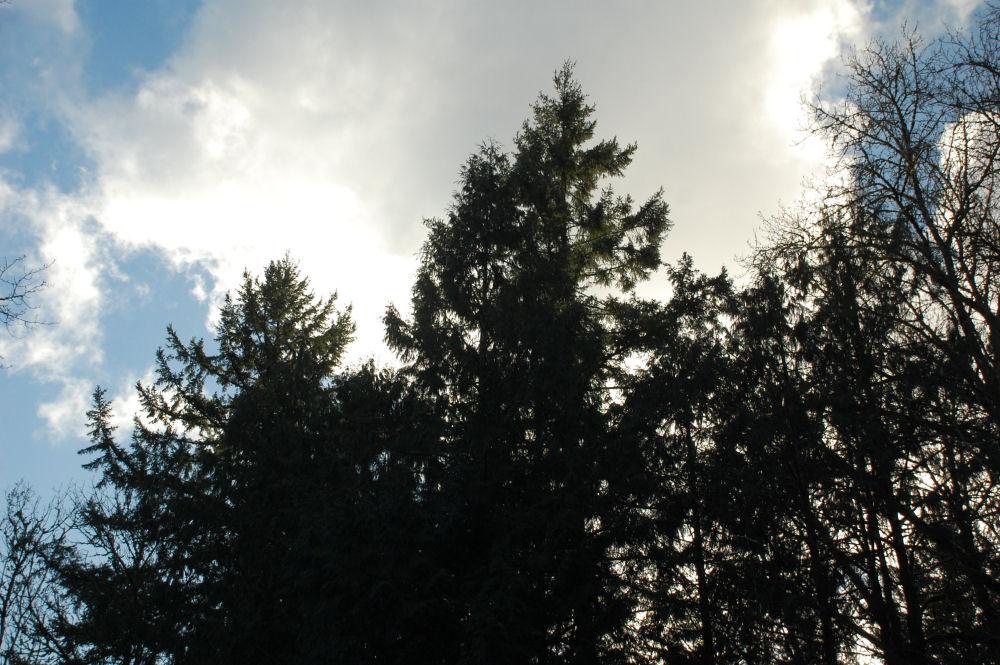 Winter trees sillhouette, Hillsboro, OR