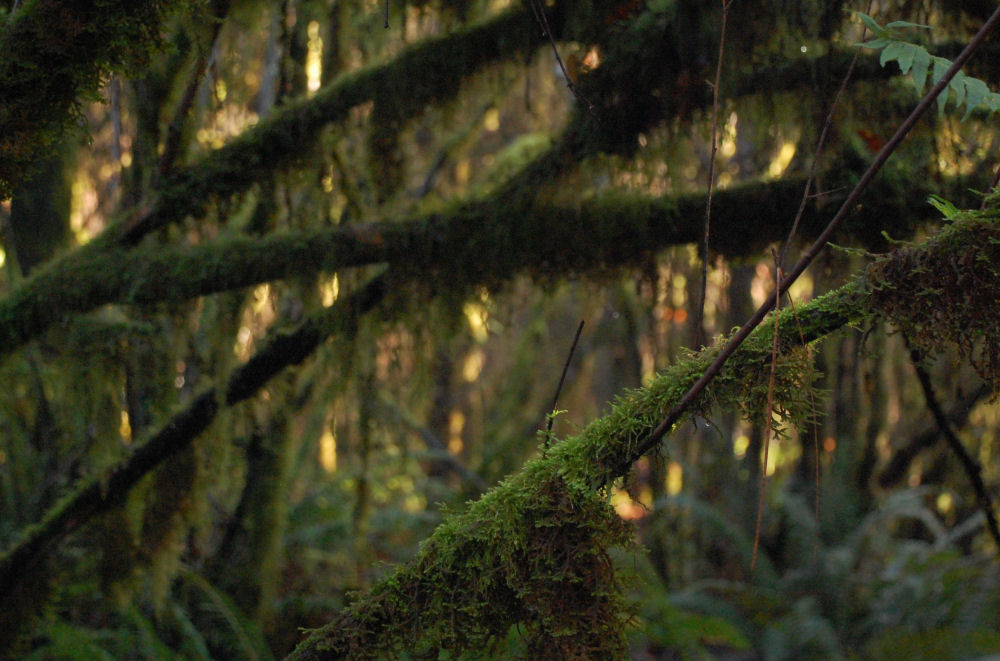 Mossy branches, Tualatin Hills Nature Park, Besverton, OR