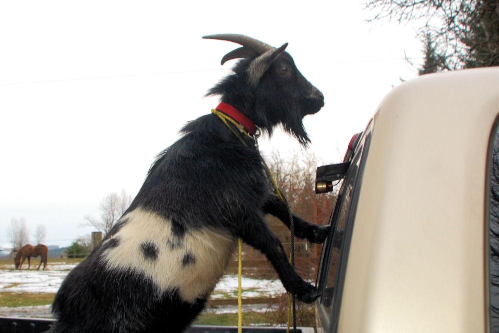 Hashtag #Goat visits downtown Portland