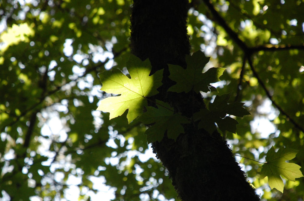 Bigleaf Maple, Tualatin Valley Nature Park, Beaverton OR