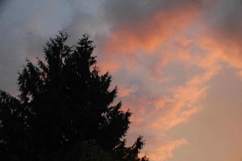 Neighbor's Cedar at Sunset, Hillsboro