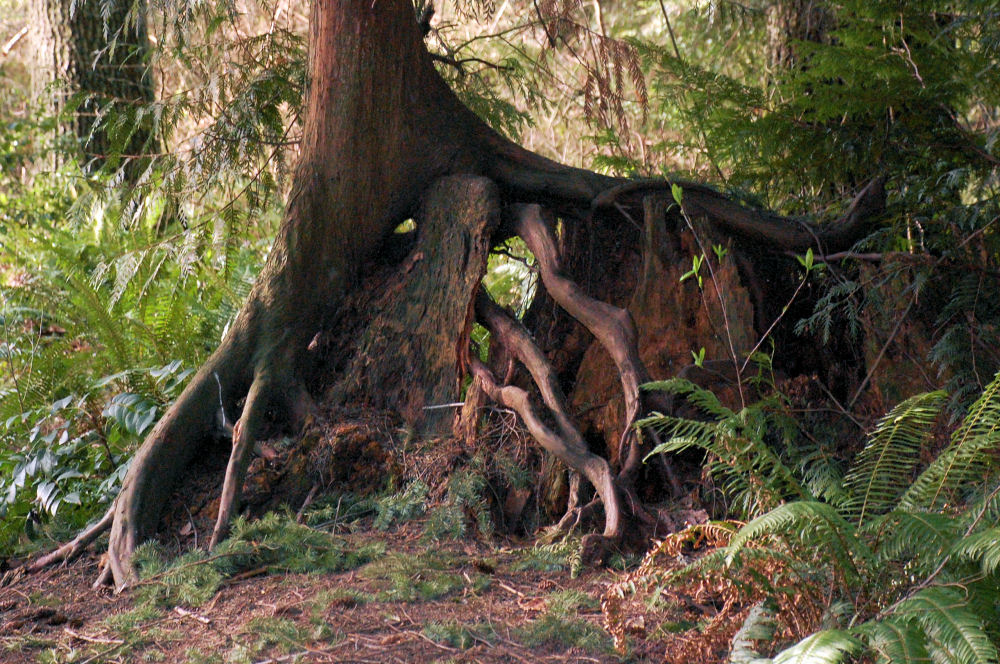 Roots and old growth forest at Noble Woods Park, Hillsboro OR