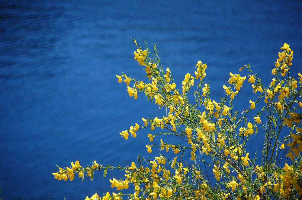 Forsythia, Durance Lake, BC