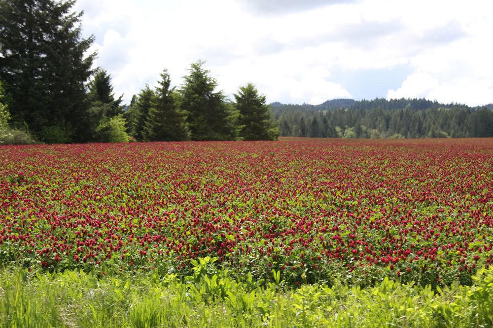 Fields of Clover, Hillsboro, OR