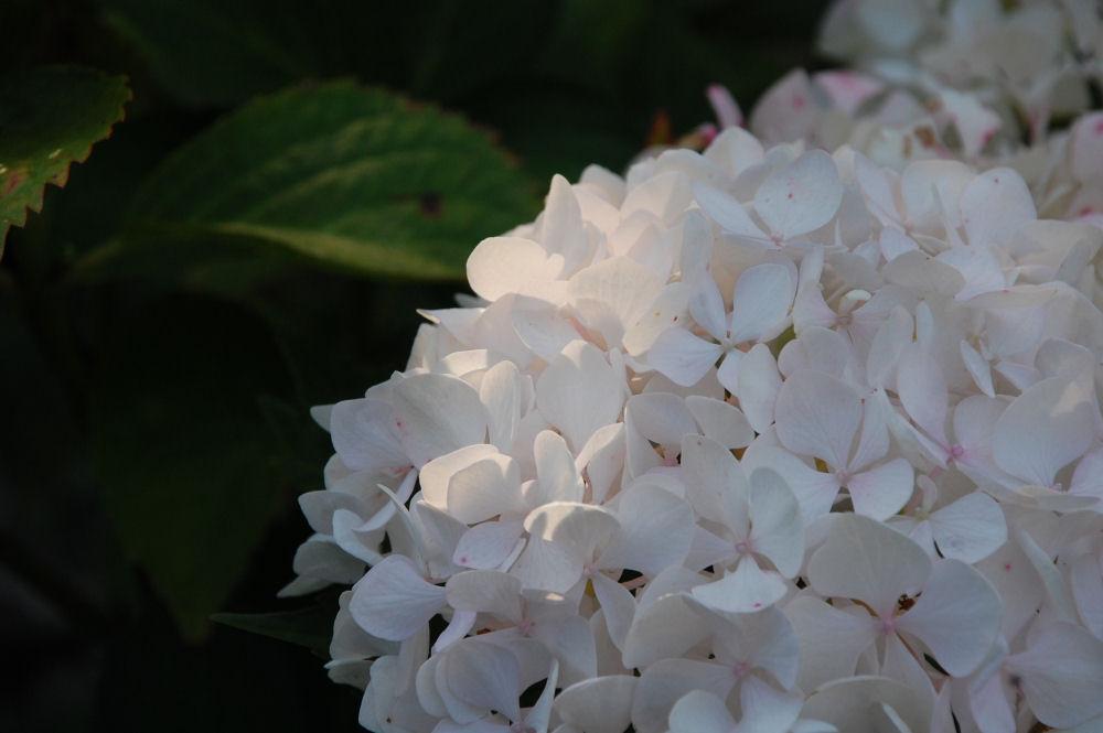 Hydrangea, Hillsboro OR