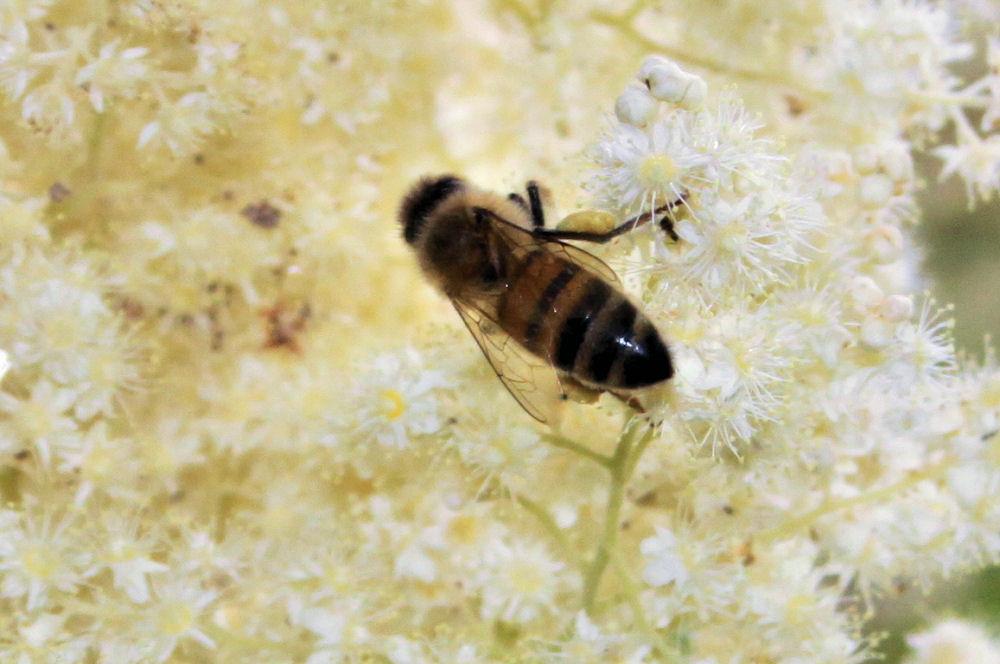 Bee gathering Wild Currant pollen, Noble Woods Park, Hillsboro, OR
