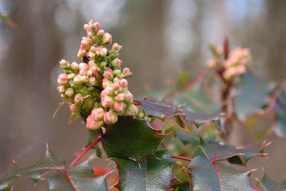 Oregon Grape in bloom, Beaverton, OR