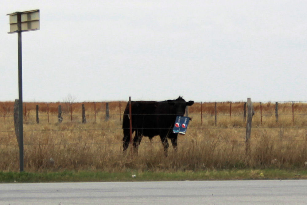 Playful cow near Amarillo, Texas