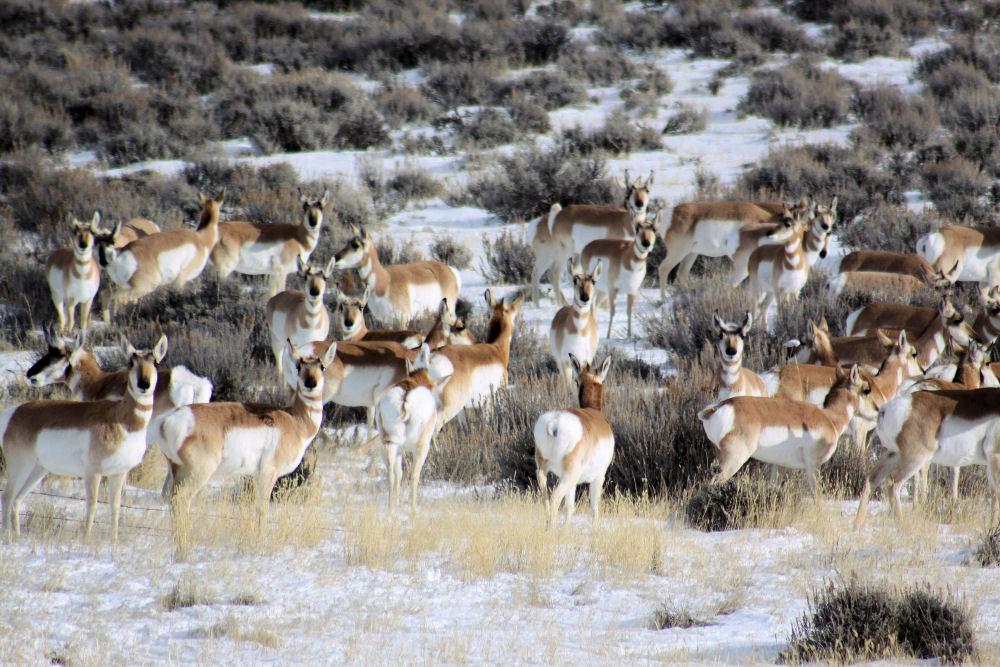 Pronghorn Antelope herd, Cheyenne WY