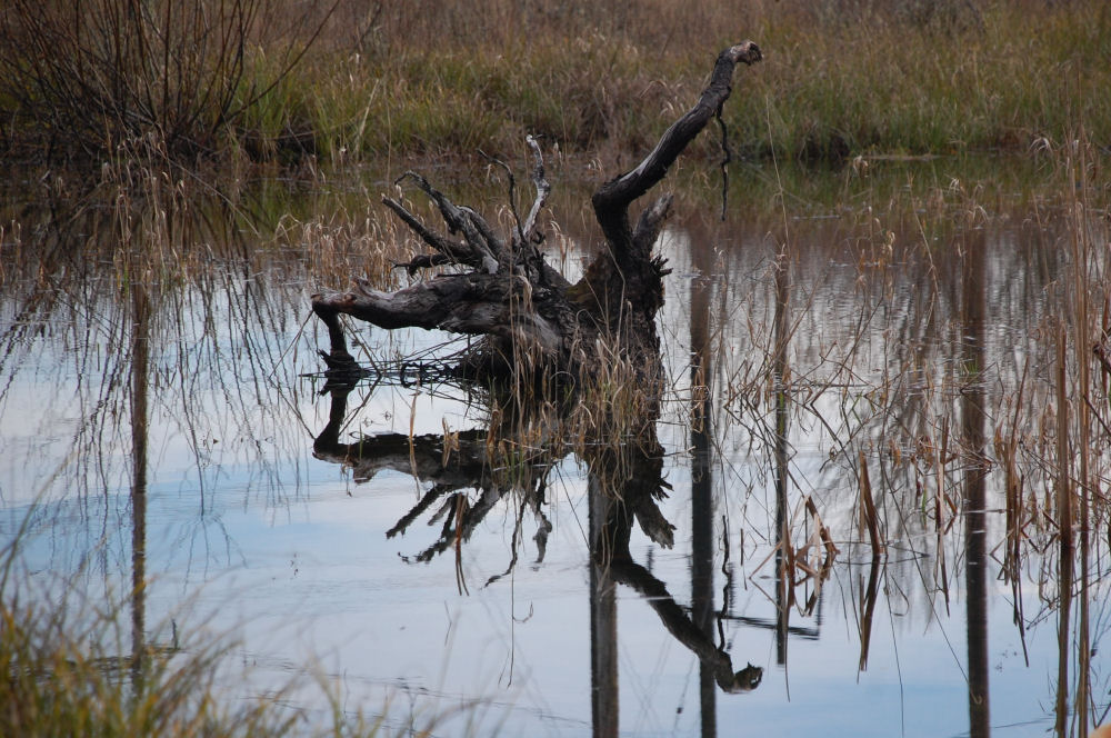 Striking Shape of an old stump and reflection