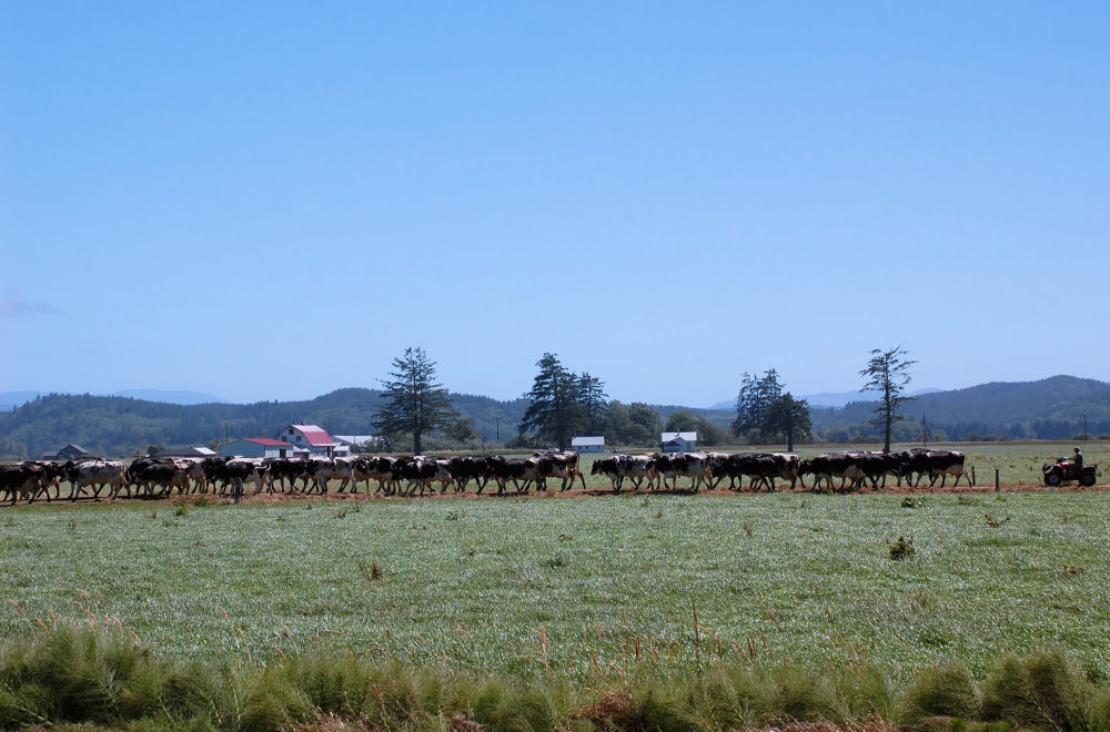 Cattle Roundup, Tillimook, OR
