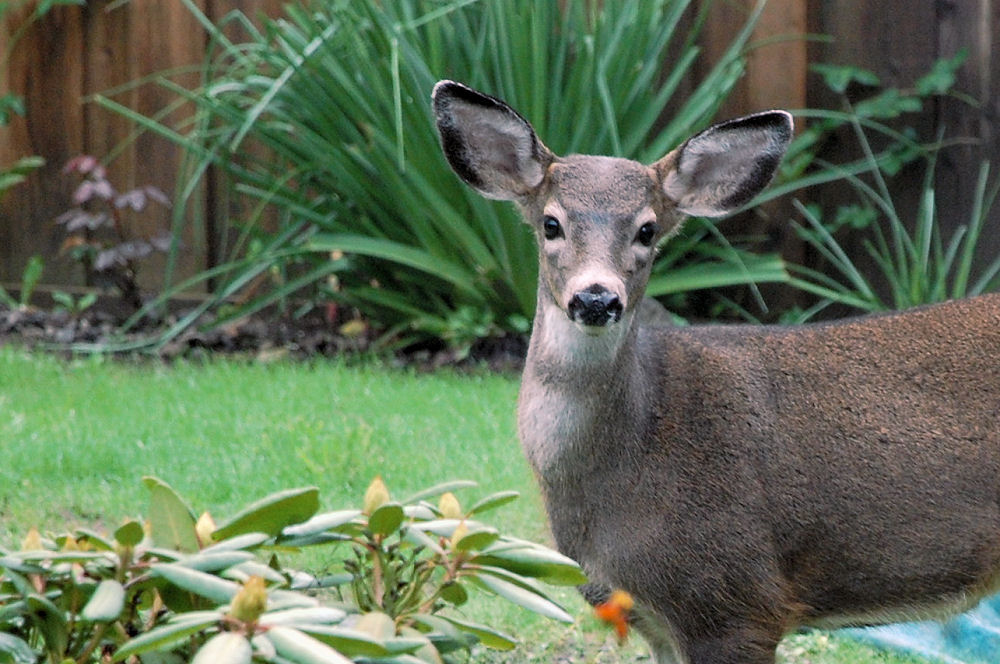 Deer in our garden, on the way out from munching on the fresh rose buds