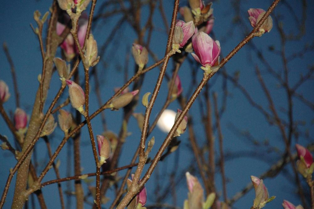 Magnolia blossoms, Hillsboro OR
