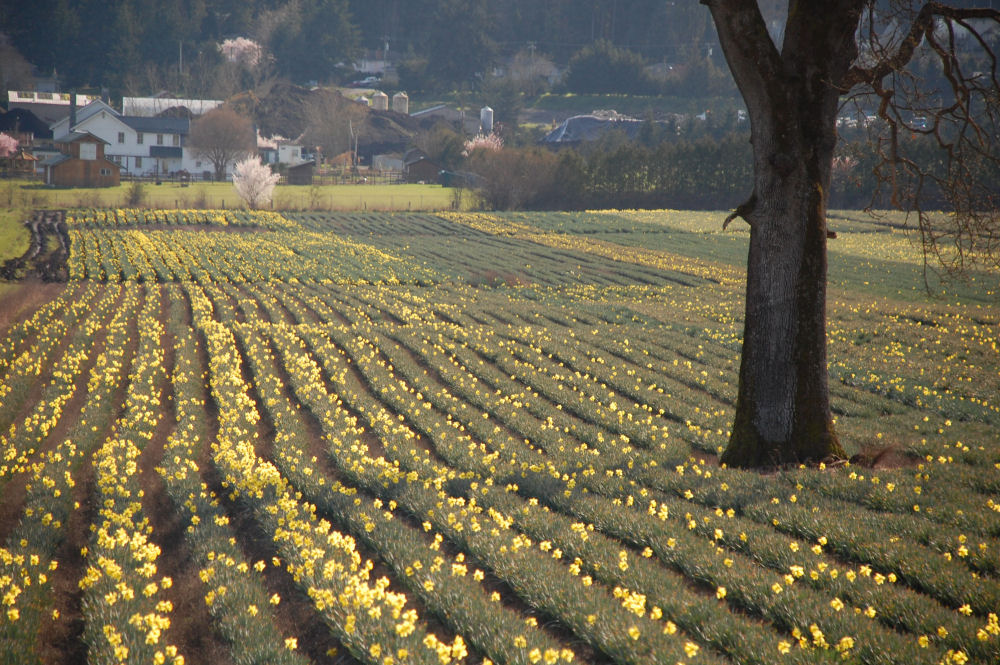 Feild of Daffodils, North Saanich, BC