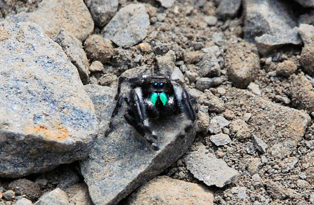 Daring Jumping Spider in our garden
