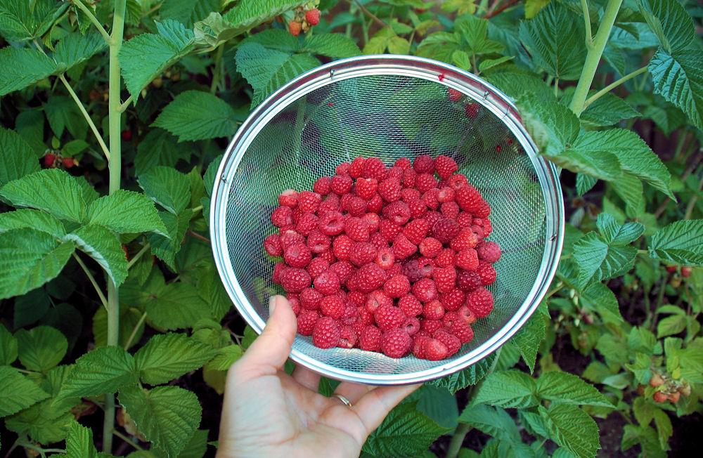 Front yard Raspberries