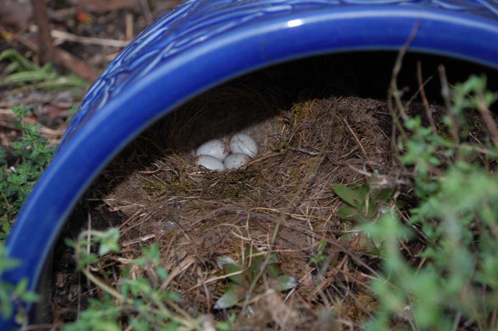 Gray Jay eggs in a cozy garden pot
