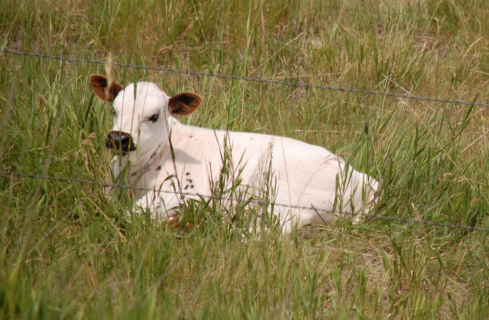 Longhorn calf, Scottsbluff, Nebraska