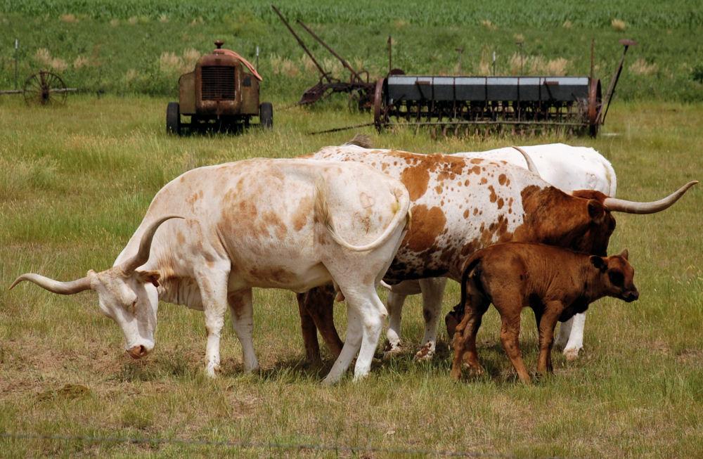 Longhorn cattle with calf, Scottsbluff, Nebraska