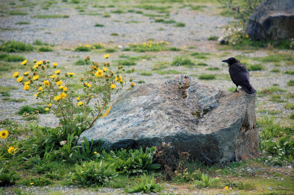 Crow and wild sunflowers, Island View Beach, North Saanich, BC