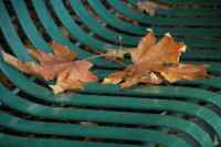 Bigleaf maple, Rood Bridge Park bench, Hillsboro