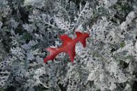 Pin Oak leaf on Dusty Miller, my garden