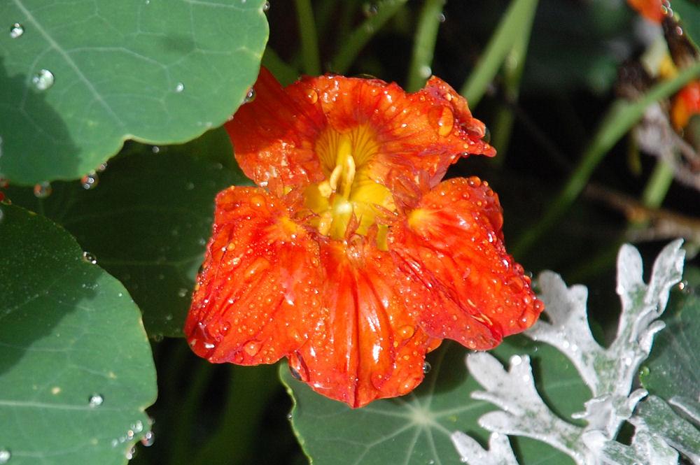 Nasturtium flower after rain