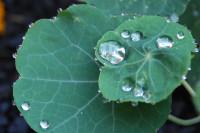 Nasturtium leaves after rain
