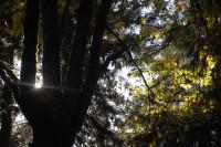 Bigleaf Maple, Rood Bridge Park, Hillsboro, OR