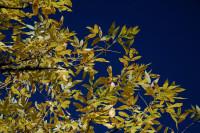 Elm tree, Rood Bridge Park, Hillsboro, OR