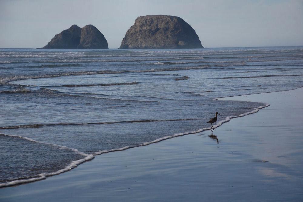 Oceanside, OR Long-billed Dowitcher
