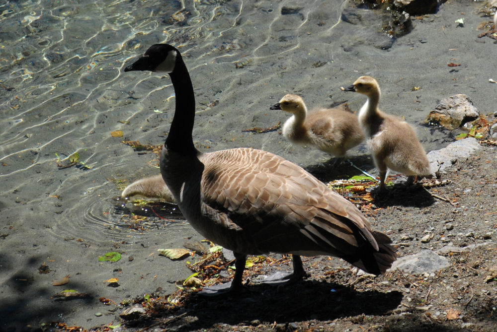Durance Lake, BC Canada goose and goslings