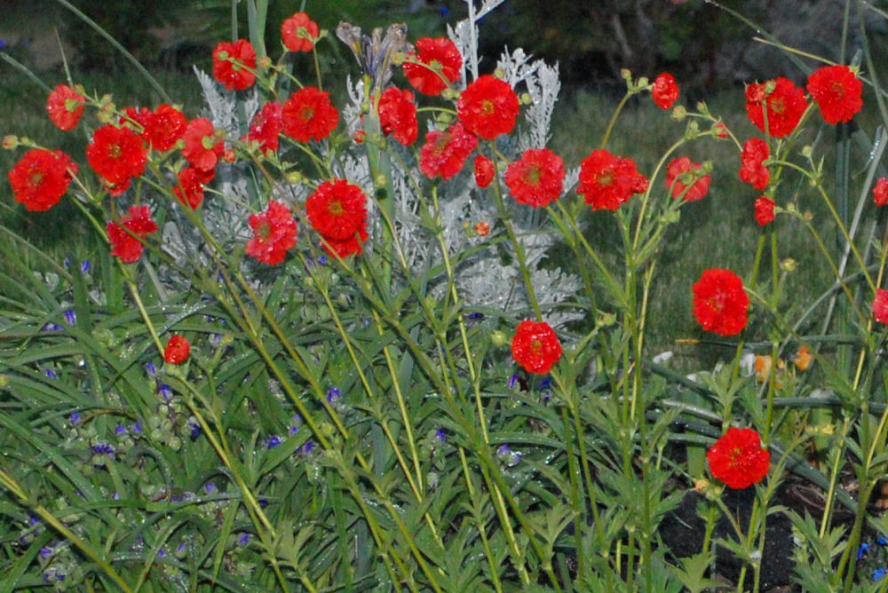 Geum bloom all summer but are showiest in the Spring