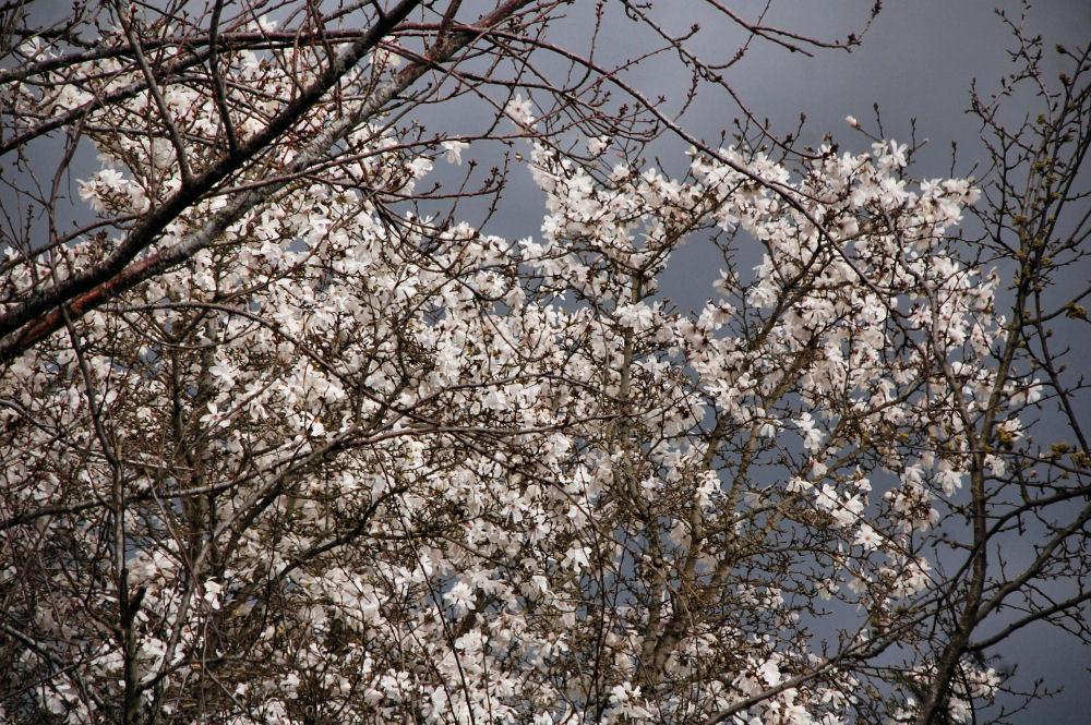 Apple blossoms, Spring storm, Hillsboro, OR