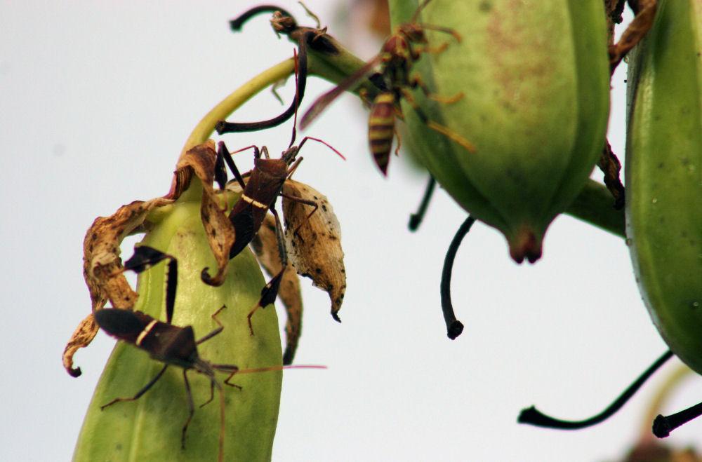 Beetles and wasps on Yukka seed pods