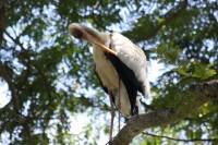 Stork grooming above us in a tree, Jurong Bird Park, Singapore