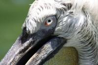 Pelican, Jurong Bird Park, Singapore