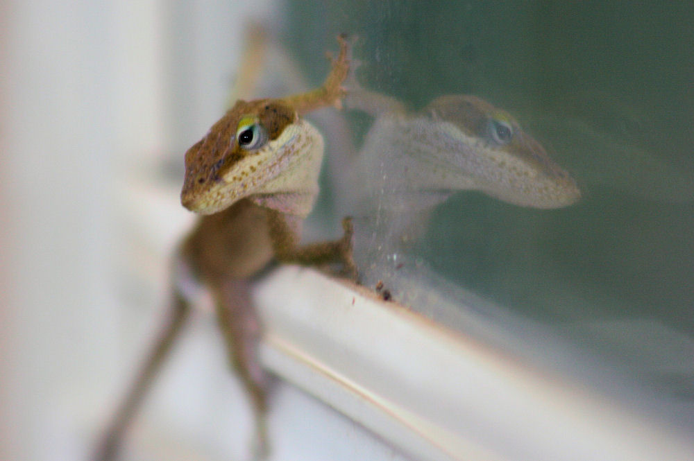 Anole, reflection on living room window