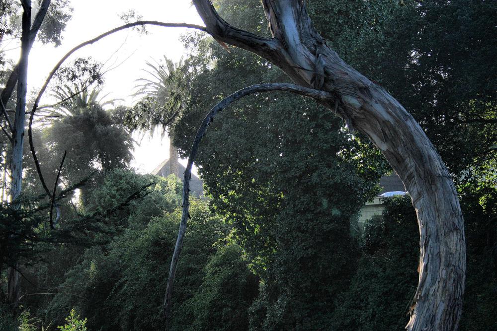 Blue Gum Eucalyptus trees, Santa Cruz, CA