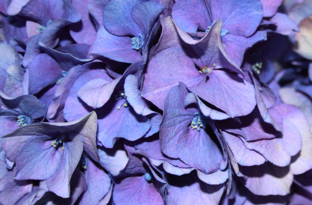 Blue Hydrangea, Hillsboro, OR