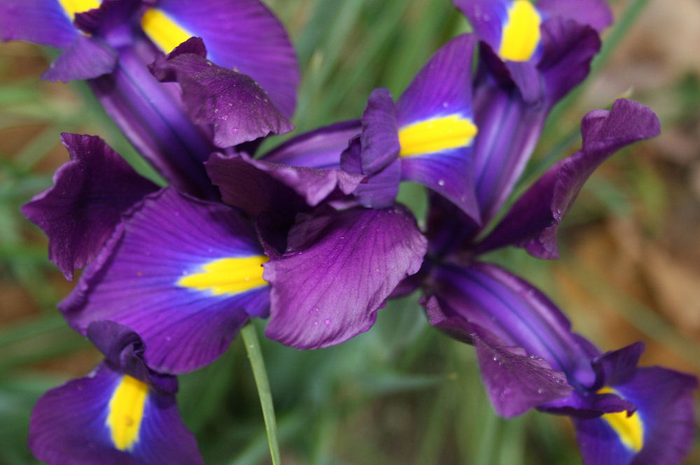 Blue Flag Iris, bright on a gray day