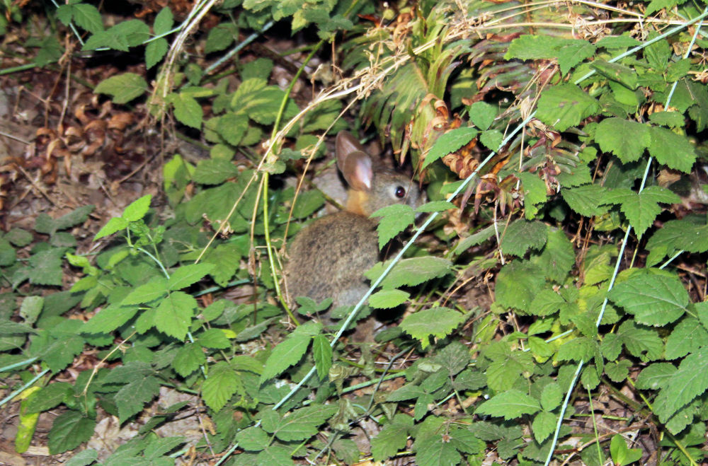 Well-camouflaged little bunny, TV Hills Park, OR