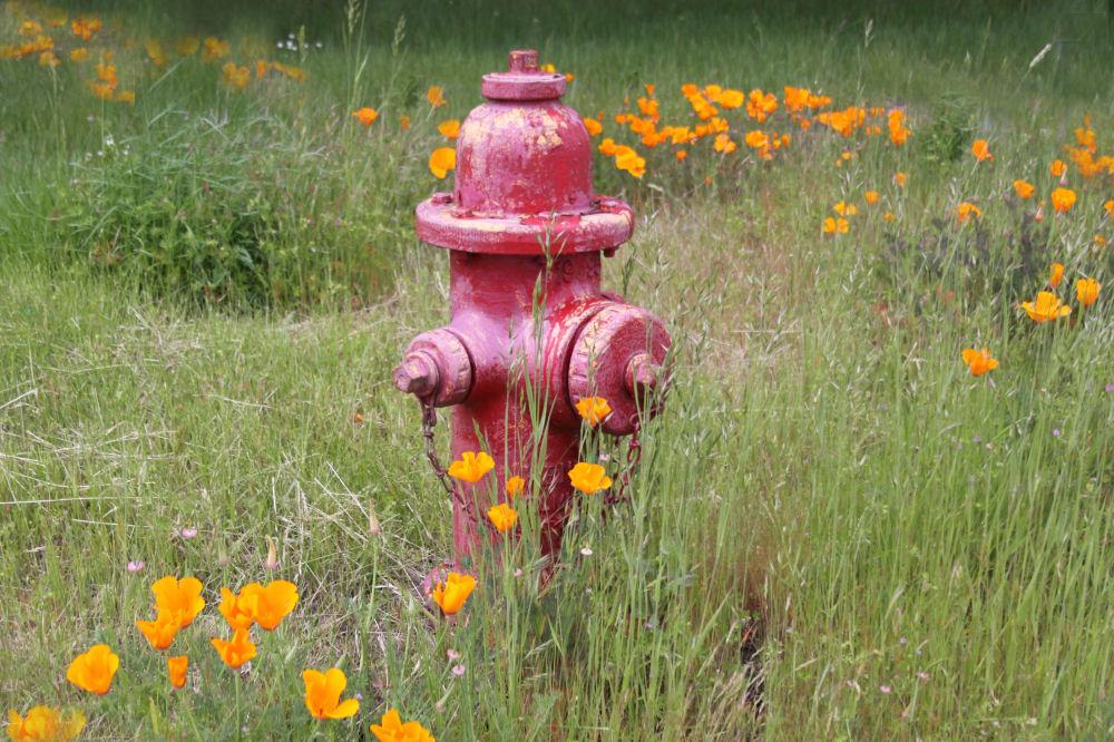 California Poppies, Newtonville, OR