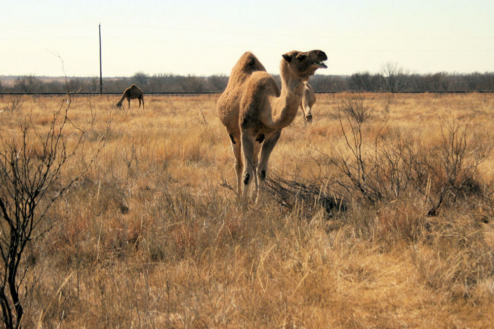 Camels, Childress, TX
