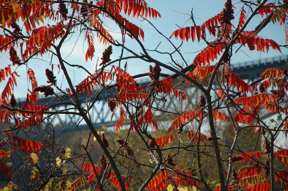 Sumac bushes, Cornwall, ON - bridge to the US
