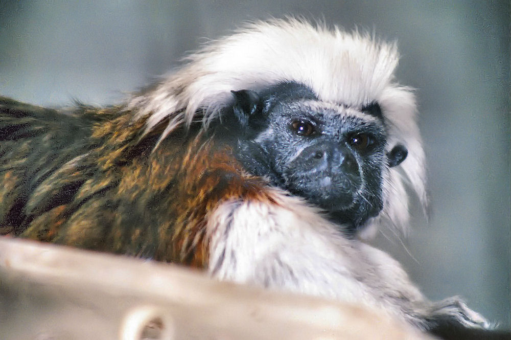 Cottontop Tamarin, DW Aquarium, Dallas, TX