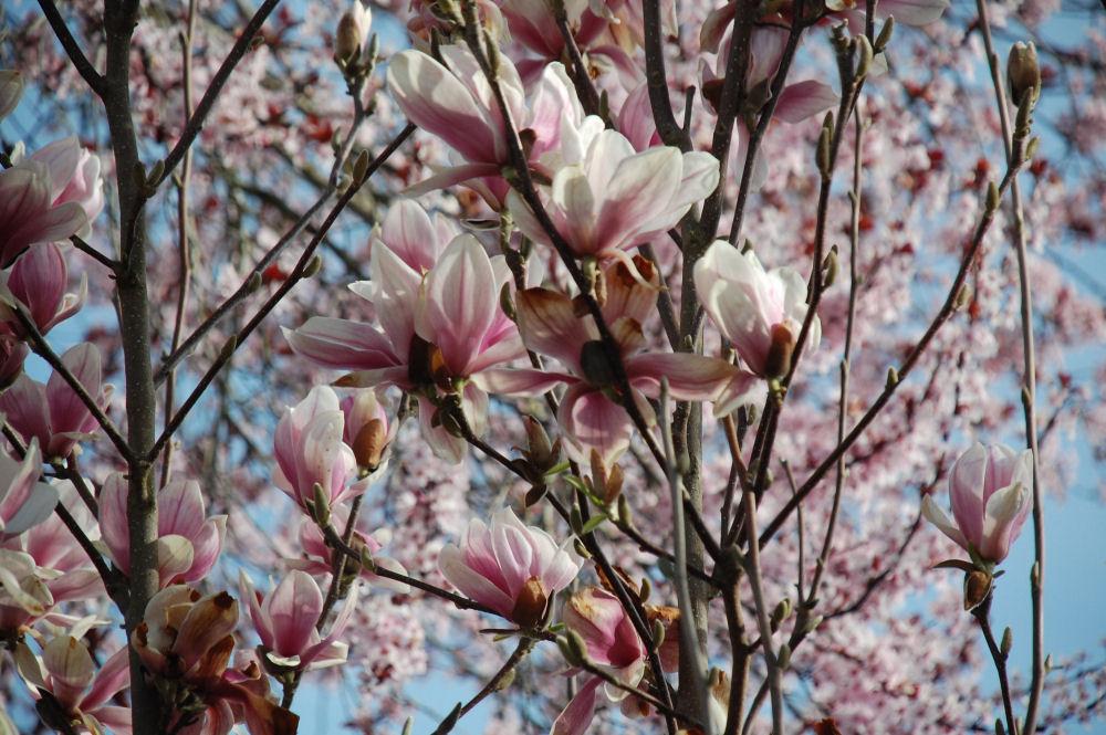 Magnolia, Hillsboro, OR