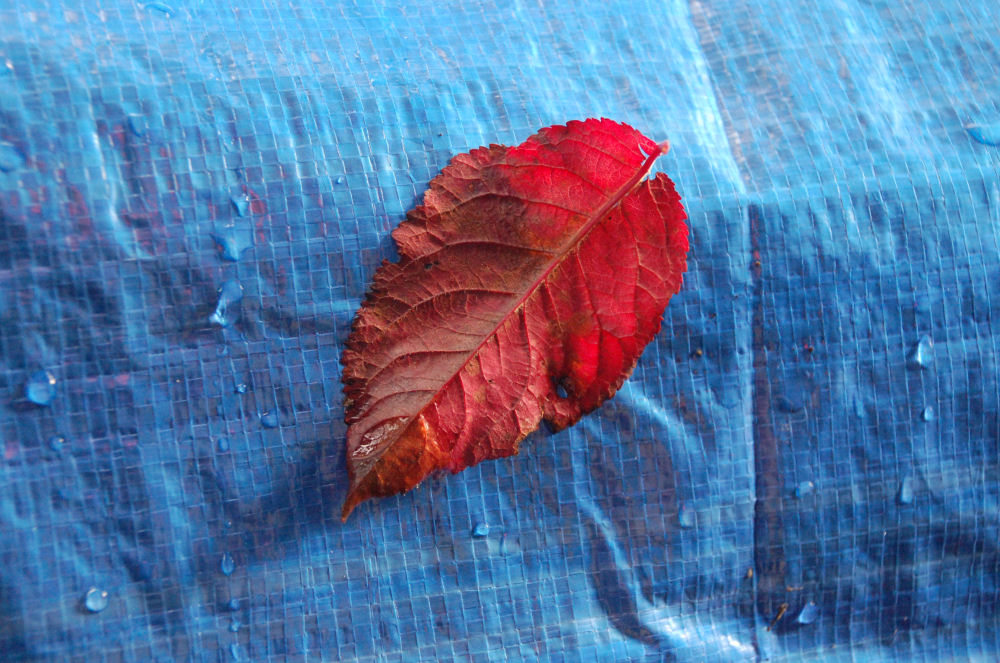 Purple Sandcherry leaf on a tarp